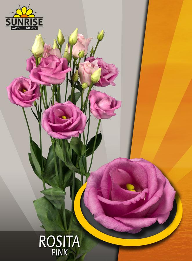 Rosita Pink