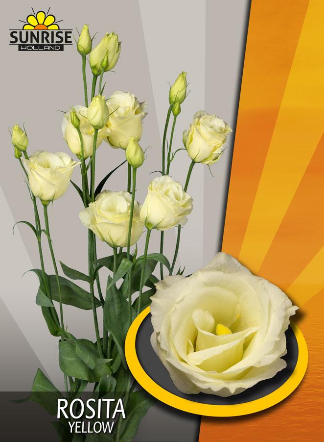 Rosita Yellow