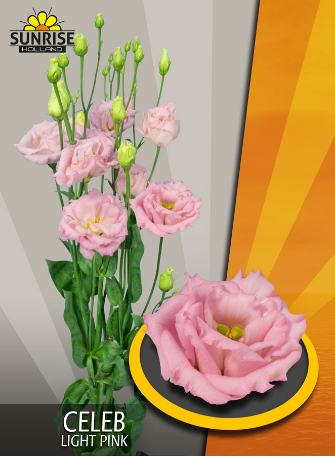 Lisianthus Celeb Light Pink